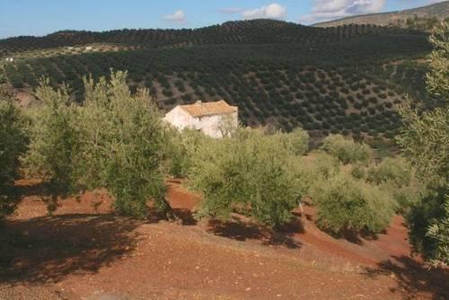 imagen 3 de Venta de magníficas fincas olivares en Alcalá la Real (Jaén)
