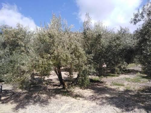 imagen 1 de Venta de campo de olivos en Noalejo (Jaén)