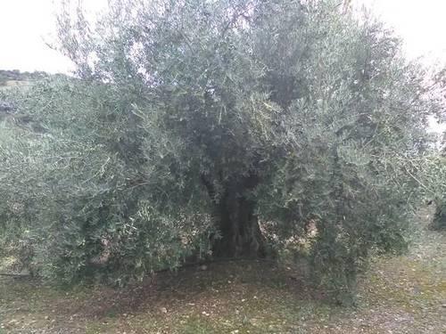 imagen 1 de Venta de finca olivar de regadío en Puerto Alto (Jaén)