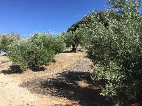 imagen 2 de Venta de finca olivar y cortijo en Jamilena (Jaén)