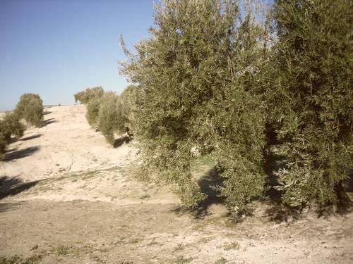 imagen 1 de Venta de olivar en Arjona (Jaén)