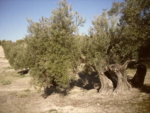 imagen 2 de Venta de olivar en Arjona (Jaén)