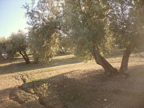imagen 3 de Venta de campo olivar en Arjona (Jaén)