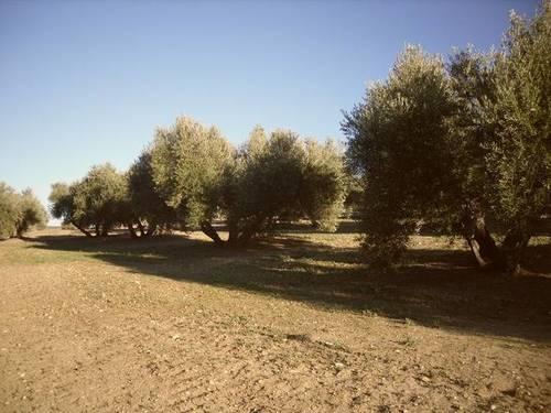 imagen 2 de Venta de campo olivar en Arjona (Jaén)