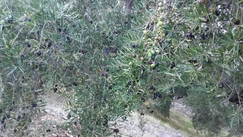 imagen 1 de Venta de campo en olivar en Pegalajar (Jaén)