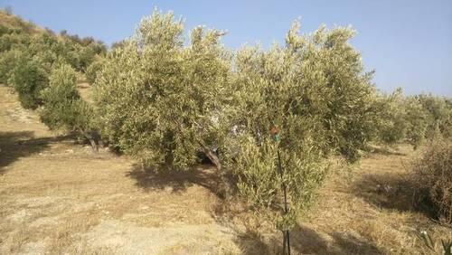 imagen 1 de Venta de finca olivar con nacimiento en Larva (Jaén)