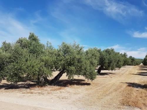 imagen 1 de Venta de olivar en Portachuelo, Úbeda (Jaén)