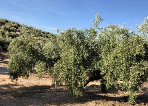 imagen 1 de Venta de finca olivar de riego en Torre del Campo (Jaén)