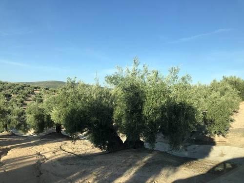 imagen 2 de Venta de finca olivar de riego en Torre del Campo (Jaén)