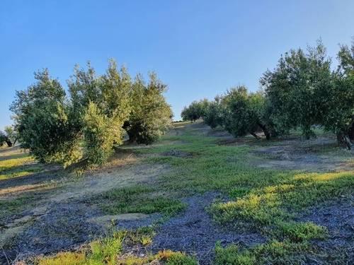 imagen 2 de Venta de olivar en Torre del Campo (Jaén)