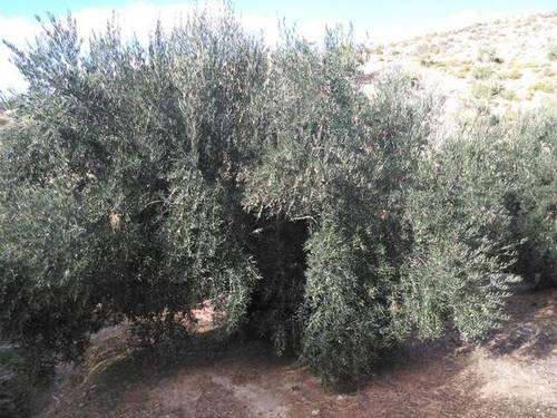 imagen 2 de Venta de finca de olivos en Bedmar (Jaén)