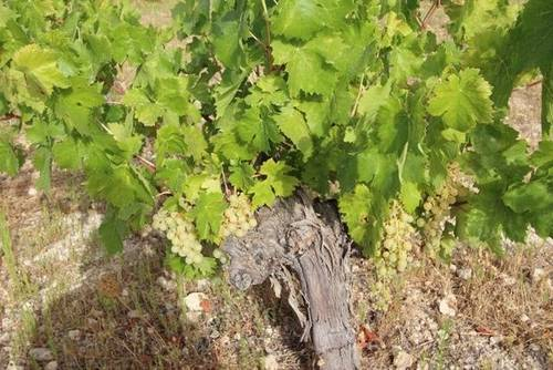 imagen 3 de Venta de magnífico viñedo en Torre del Campo (Jaén)