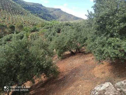imagen 2 de Venta de finca de olivos en Mogón (Jaén)