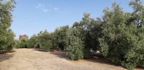 imagen 1 de Venta de campo de olivas en Úbeda (Jaén)