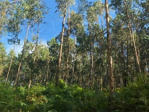 imagen 1 de Venta de terreno de eucaliptos en Miño (La Coruña)