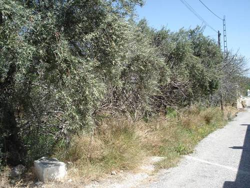 imagen 3 de Venta de finca olivar y frutales en Alhaurín el Grande (Málaga)
