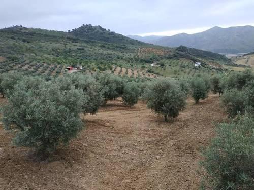 imagen 1 de Venta de campo olivar en Casabermeja (Málaga)