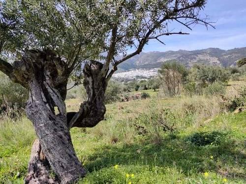 imagen 3 de Venta de finca con olivos centenarios en Casarabonela (Málaga)