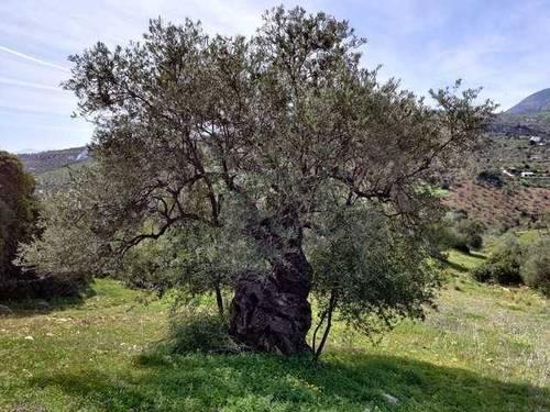 imagen 4 de Venta de finca con olivos centenarios en Casarabonela (Málaga)