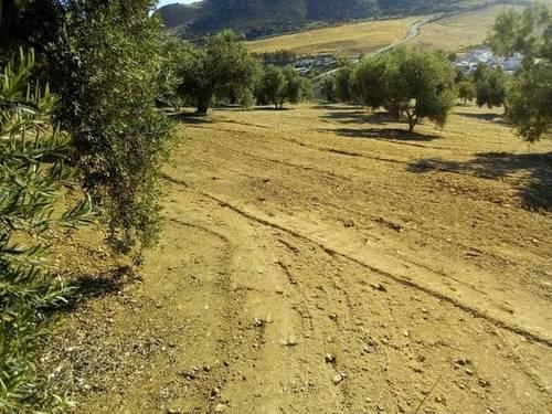 imagen 1 de Venta de olivar en Antequera (Málaga)