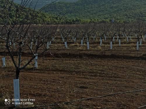 imagen 3 de Finca de almendros superintensivo ecológico Guadix