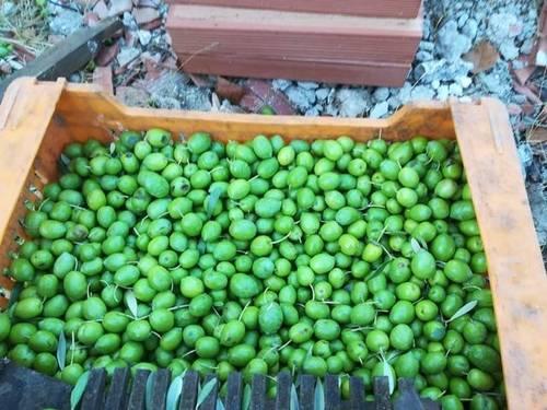 imagen 2 de Alquiler de olivar con certificado ecológico en Cazalla de la Sierra (Sevilla)