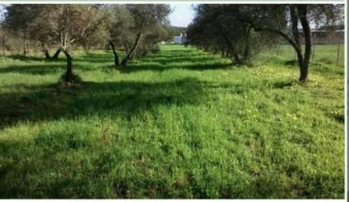 imagen 2 de Venta de olivar en Pilas (Sevilla)