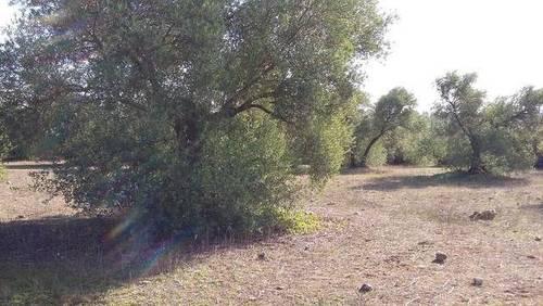 imagen 1 de Venta de olivar en Alcolea del Río (Sevilla)