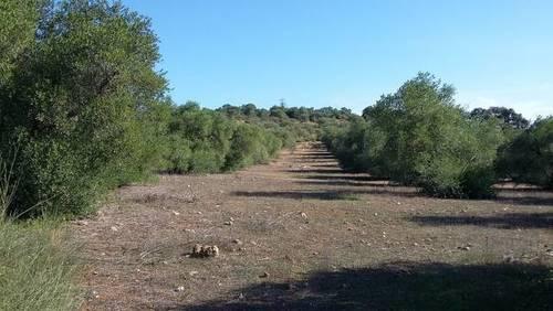 imagen 3 de Venta de olivar en Alcolea del Río (Sevilla)