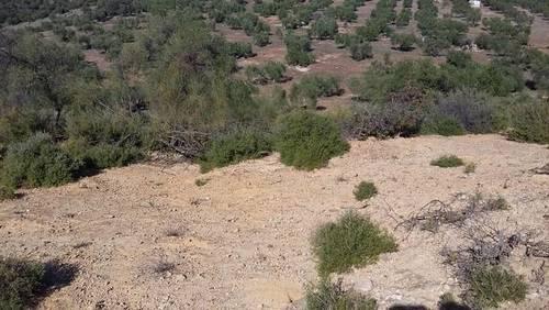 imagen 4 de Venta de olivar en Alcolea del Río (Sevilla)