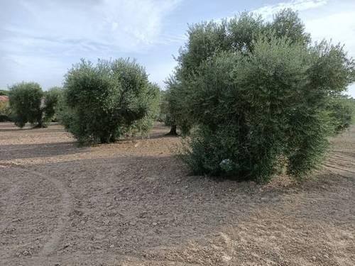 imagen 1 de Venta de olivar con muy buena ubicación en Los Palacios (Sevilla)