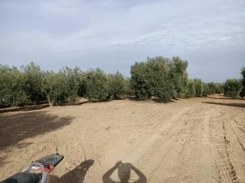 imagen 2 de Venta de olivar con muy buena ubicación en Los Palacios (Sevilla)