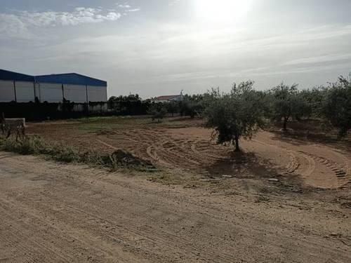 imagen 3 de Venta de olivar con muy buena ubicación en Los Palacios (Sevilla)