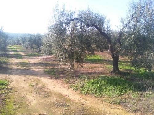 imagen 3 de Venta de finca con olivos en Pilas (Sevilla)