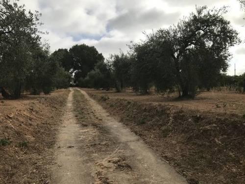 imagen 5 de Venta de parcela con olivos y casa en Almensilla (Sevilla)