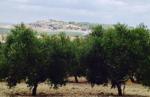 imagen 5 de Venta de olivar de regadío en Lebrija (Sevilla)