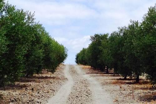 imagen 3 de Venta de olivar de regadío en Lebrija (Sevilla)