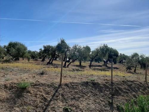 imagen 1 de Venta de finca con olivos centenarios en Palomares del Río (Sevilla)