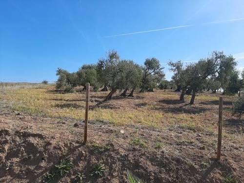 imagen 2 de Venta de finca con olivos centenarios en Palomares del Río (Sevilla)