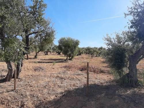 imagen 3 de Venta de finca con olivos centenarios en Palomares del Río (Sevilla)