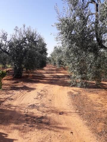 imagen 1 de Venta de finca con olivos y frutales en Pilas (Sevilla)