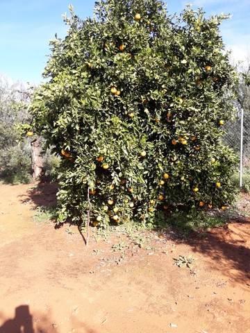 imagen 2 de Venta de finca con olivos y frutales en Pilas (Sevilla)
