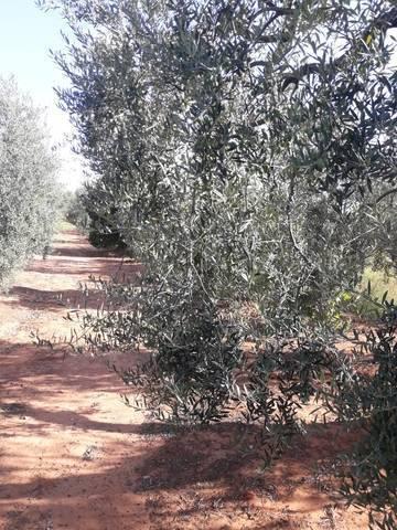 imagen 3 de Venta de finca con olivos y frutales en Pilas (Sevilla)