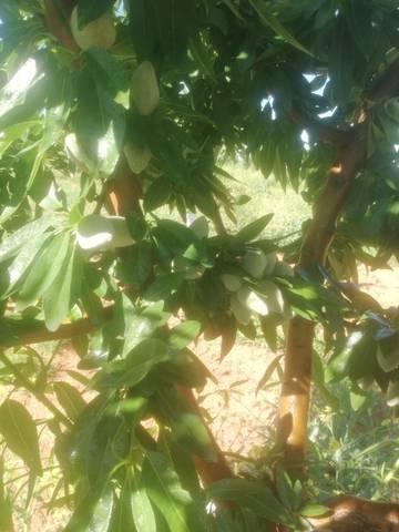 imagen 2 de Venta de finca de almendros en El Cuervo (Sevilla)