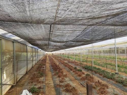 imagen 6 de Venta de finca con olivar e invernadero en Utrera