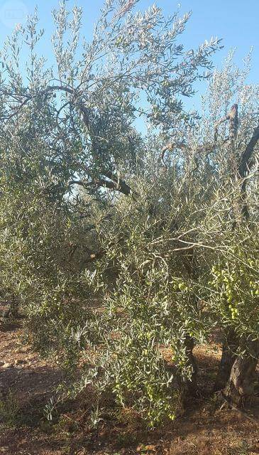 imagen 1 de Venta de finca de olivos con casa en Carmona