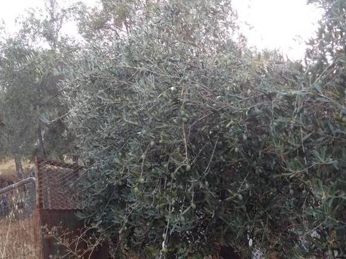 imagen 4 de Venta de parcela con olivos y alcornoques en cazalla