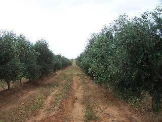 imagen 1 de Venta de fincas de olivos en Alcalá de Guadaira