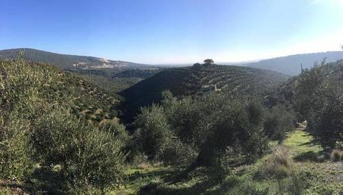 imagen 5 de Venta de precioso olivar con casa en La Puebla de los Infantes