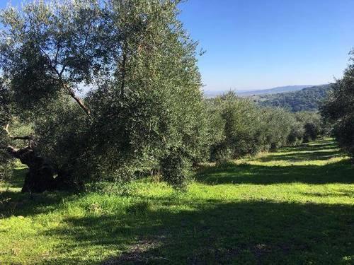 imagen 3 de Venta de precioso olivar con casa en La Puebla de los Infantes
